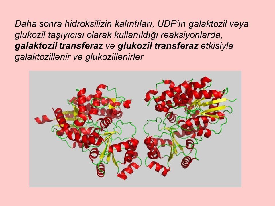 Daha sonra hidroksilizin kalıntıları, UDP'ın galaktozil veya glukozil taşıyıcısı olarak kullanıldığı reaksiyonlarda, galaktozil transferaz ve glukozil transferaz etkisiyle galaktozillenir ve glukozillenirler