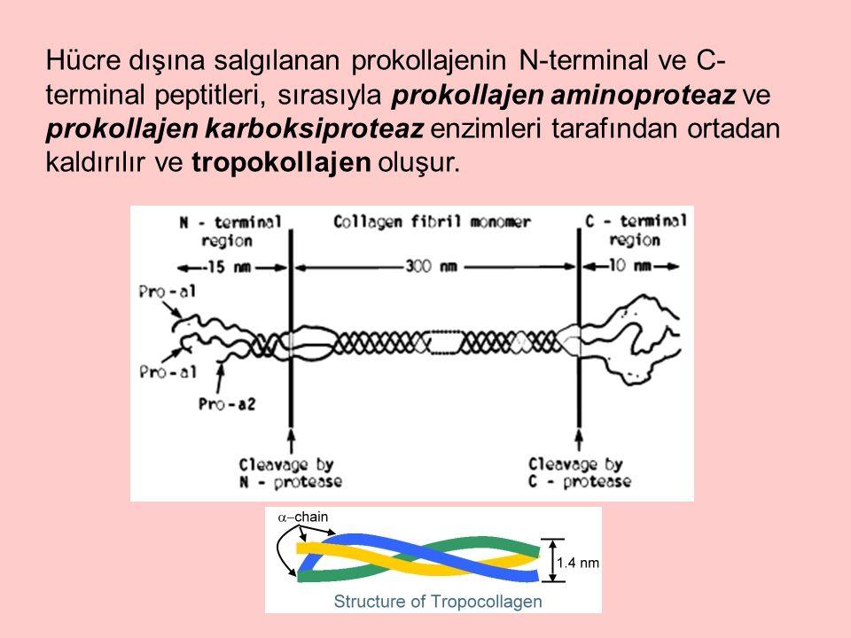 Hücre dışına salgılanan prokollajenin N-terminal ve C- terminal peptitleri, sırasıyla prokollajen aminoproteaz ve prokollajen karboksiproteaz enzimleri tarafından ortadan kaldırılır ve tropokollajen oluşur.