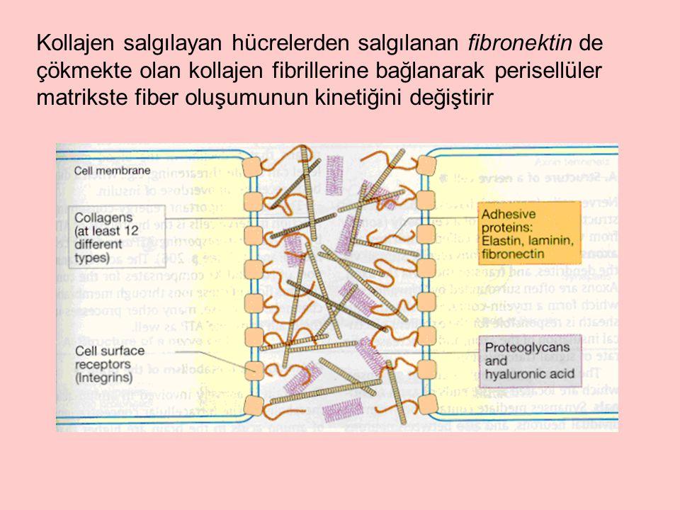 Kollajen salgılayan hücrelerden salgılanan fibronektin de çökmekte olan kollajen fibrillerine bağlanarak perisellüler matrikste fiber oluşumunun kinetiğini değiştirir