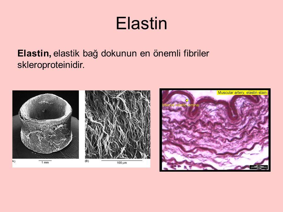 Elastin Elastin, elastik bağ dokunun en önemli fibriler skleroproteinidir.