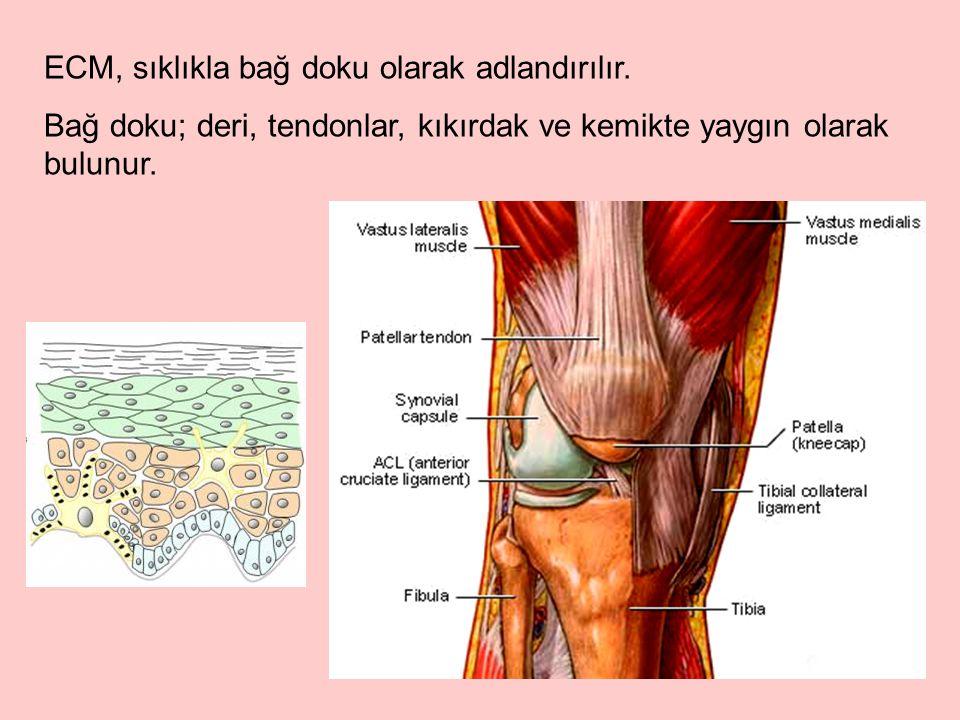 Bağ doku, kemik, kıkırdak gibi dokularda dağınık hücrelerin etrafında yaygın bir şekilde izlenir.