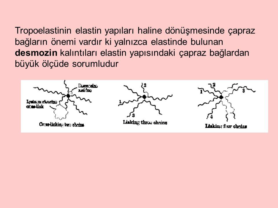 Tropoelastinin elastin yapıları haline dönüşmesinde çapraz bağların önemi vardır ki yalnızca elastinde bulunan desmozin kalıntıları elastin yapısındaki çapraz bağlardan büyük ölçüde sorumludur