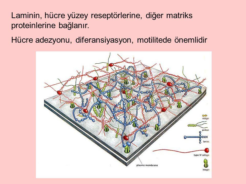 Laminin, hücre yüzey reseptörlerine, diğer matriks proteinlerine bağlanır.