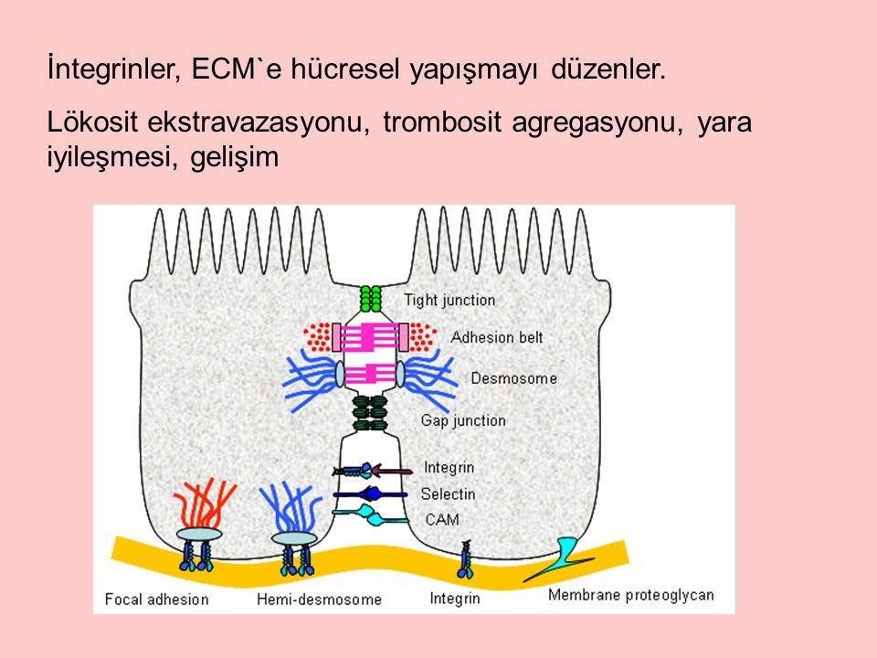İntegrinler, ECM`e hücresel yapışmayı düzenler.