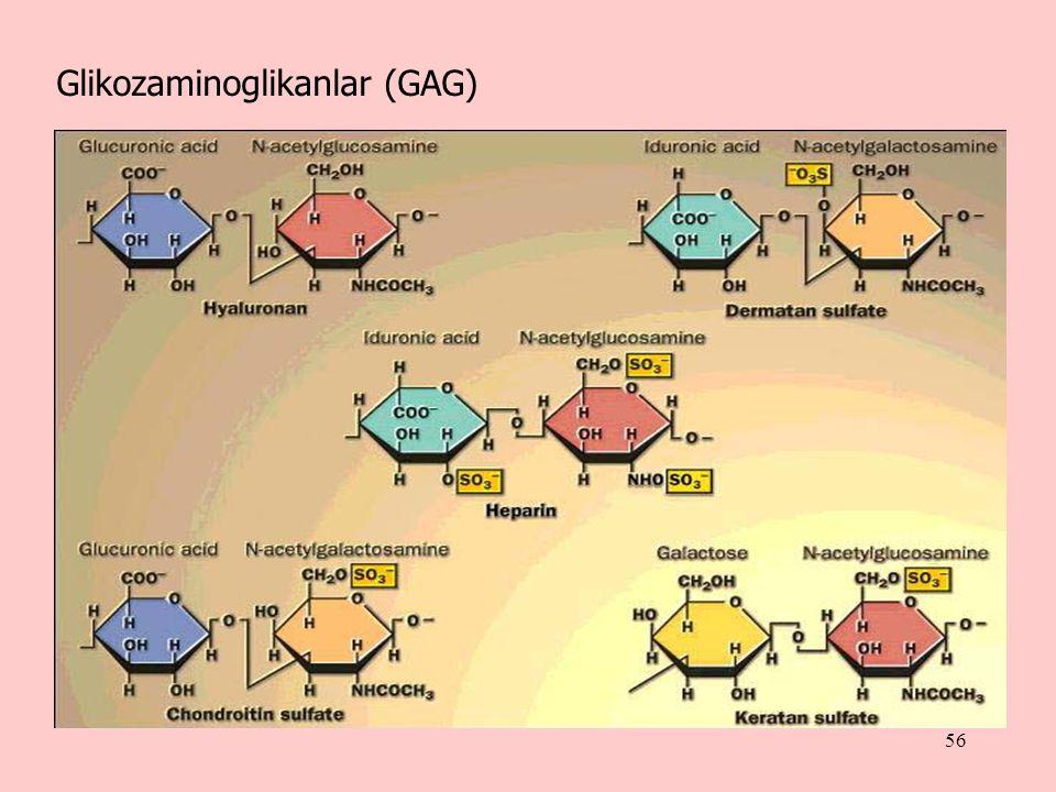 56 Glikozaminoglikanlar (GAG)
