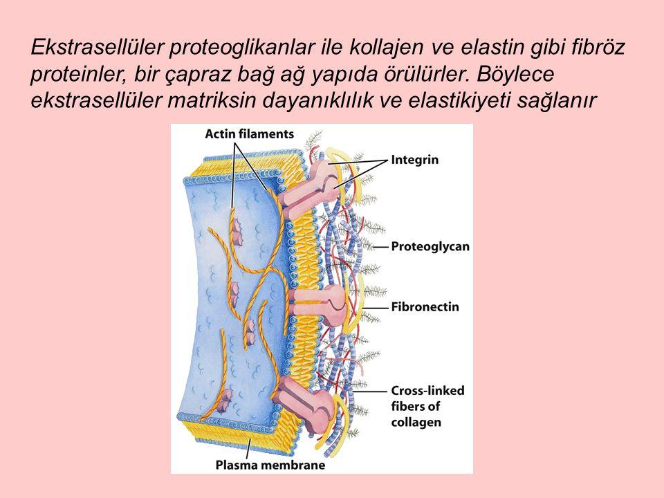 Ekstrasellüler proteoglikanlar ile kollajen ve elastin gibi fibröz proteinler, bir çapraz bağ ağ yapıda örülürler.