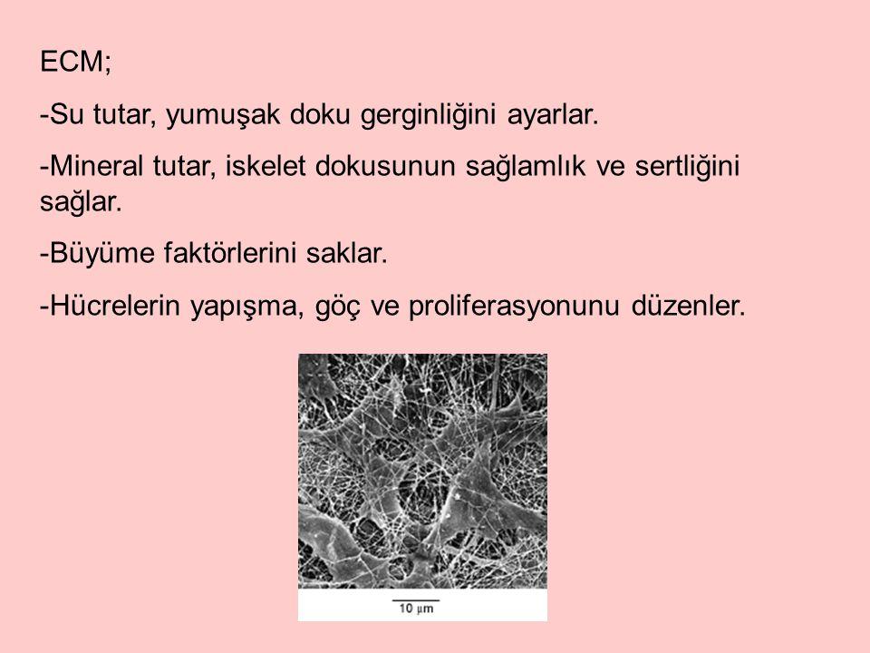 ECM, başlıca üç biyomolekül sınıfından oluşmuştur: -Yapısal proteinler: Kollajen (Tip I-XIX) ve elastin -Özelleşmiş proteinler: Fibronektin, laminin gibi adeziv proteinler ve integrinler; osteonektin (SPARC), trombospondin, osteopontin, tenasin gibi matrisellüler proteinler.