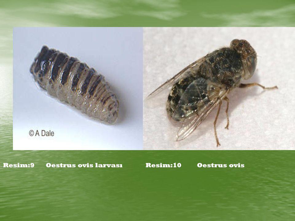 Resim:9Oestrus ovis larvasıResim:10Oestrus ovis