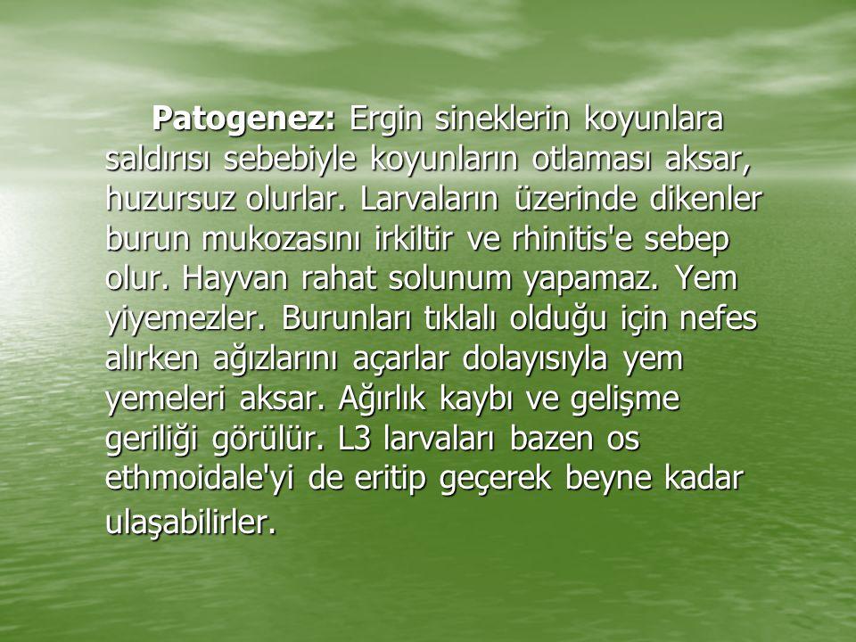 Patogenez: Ergin sineklerin koyunlara saldırısı sebebiyle koyunların otlaması aksar, huzursuz olurlar. Larvaların üzerinde dikenler burun mukozasını i