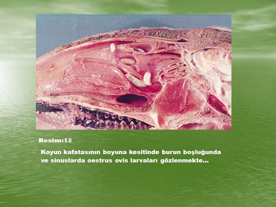 Resim:12 Koyun kafatasının boyuna kesitinde burun boşluğunda ve sinuslarda oestrus ovis larvaları gözlenmekte…