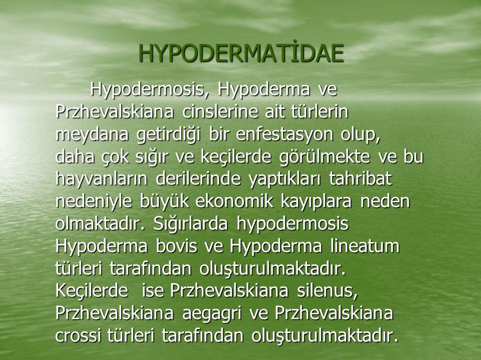 HYPODERMATİDAE Hypodermosis, Hypoderma ve Przhevalskiana cinslerine ait türlerin meydana getirdiği bir enfestasyon olup, daha çok sığır ve keçilerde g