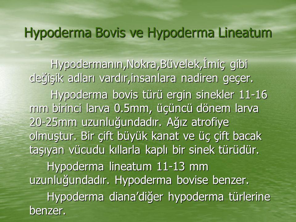 Hypoderma Bovis ve Hypoderma Lineatum Hypodermanın,Nokra,Büvelek,İmiç gibi değişik adları vardır,insanlara nadiren geçer. Hypodermanın,Nokra,Büvelek,İ