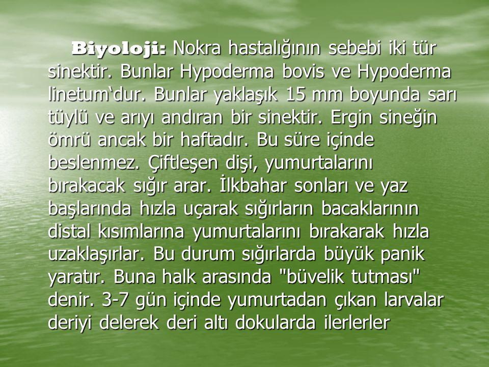 Biyoloji: Nokra hastalığının sebebi iki tür sinektir. Bunlar Hypoderma bovis ve Hypoderma linetum'dur. Bunlar yaklaşık 15 mm boyunda sarı tüylü ve arı