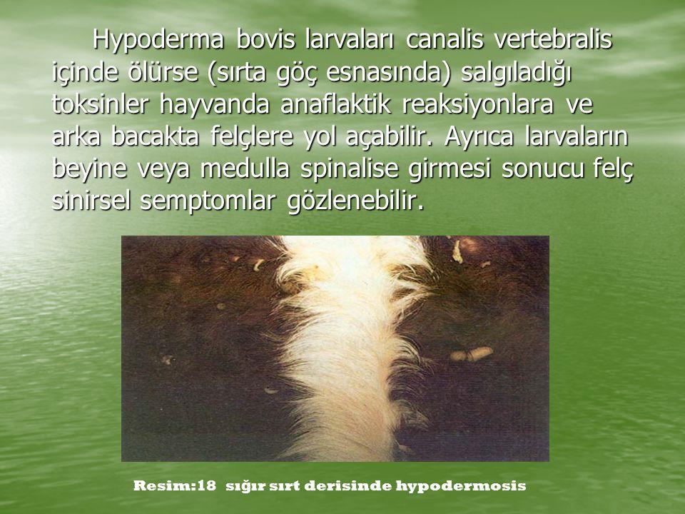 Hypoderma bovis larvaları canalis vertebralis içinde ölürse (sırta göç esnasında) salgıladığı toksinler hayvanda anaflaktik reaksiyonlara ve arka baca