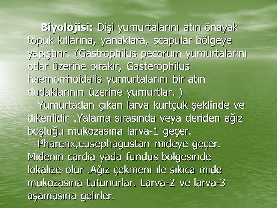 Biyolojisi: Dişi yumurtalarını atın önayak topuk kıllarına, yanaklara, scapular bölgeye yapıştırır. (Gastrophilus pecorum yumurtalarını otlar üzerine
