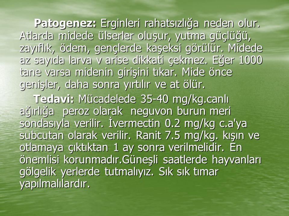 Patogenez: Erginleri rahatsızlığa neden olur. Atlarda midede ülserler oluşur, yutma güçlüğü, zayıflık, ödem, gençlerde kaşeksi görülür. Midede az sayı