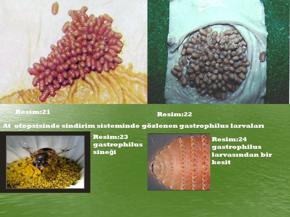 Resim:21 Resim:22 At otopsisinde sindirim sisteminde gözlenen gastrophilus larvaları Resim:23 gastrophilus sine ğ i Resim:24 gastrophilus larvasından