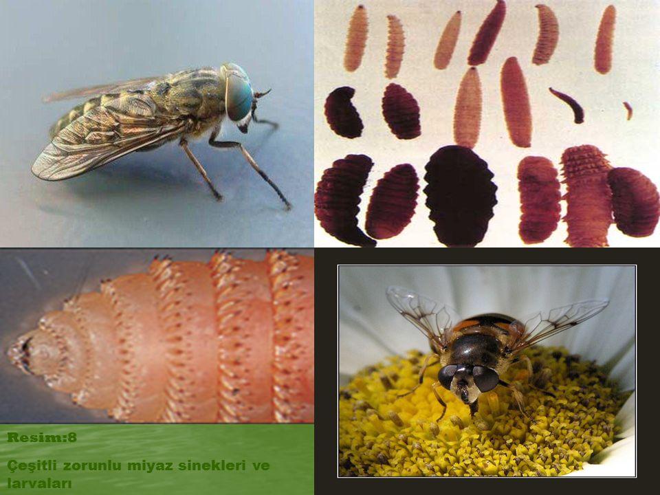 Çeşitli zorunlu miyaz sinekleri ve larvaları Resim:8