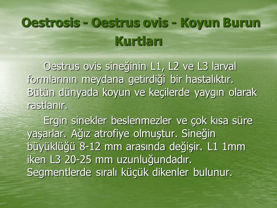 Oestrosis - Oestrus ovis - Koyun Burun Kurtları Oestrosis - Oestrus ovis - Koyun Burun Kurtları Oestrus ovis sineğinin L1, L2 ve L3 larval formlarının