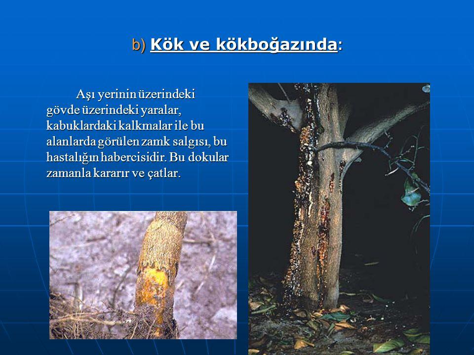 b) Kök ve kökboğazında : Aşı yerinin üzerindeki gövde üzerindeki yaralar, kabuklardaki kalkmalar ile bu alanlarda görülen zamk salgısı, bu hastalığın