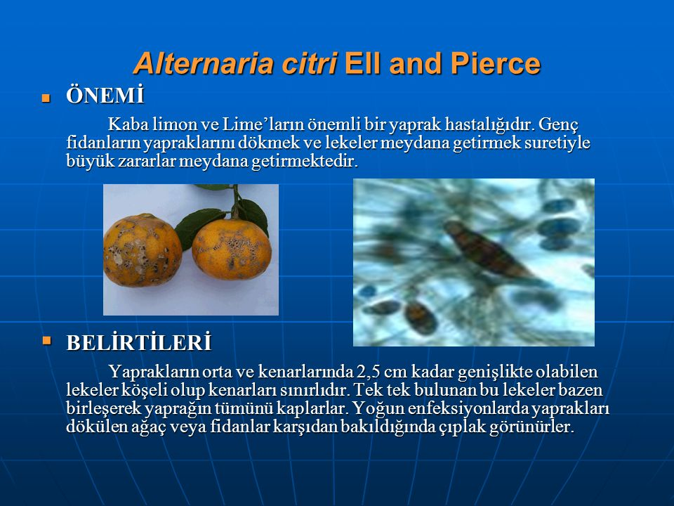 Alternaria citri Ell and Pierce ÖNEMİ ÖNEMİ Kaba limon ve Lime'ların önemli bir yaprak hastalığıdır. Genç fidanların yapraklarını dökmek ve lekeler me
