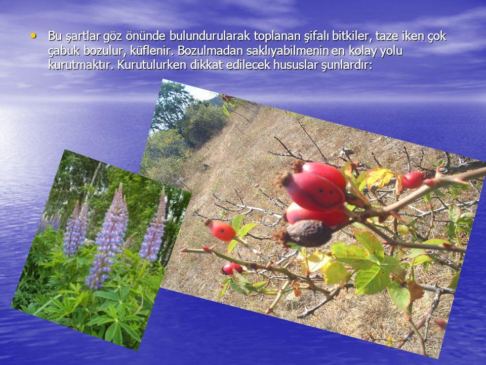 Bu şartlar göz önünde bulundurularak toplanan şifalı bitkiler, taze iken çok çabuk bozulur, küflenir.