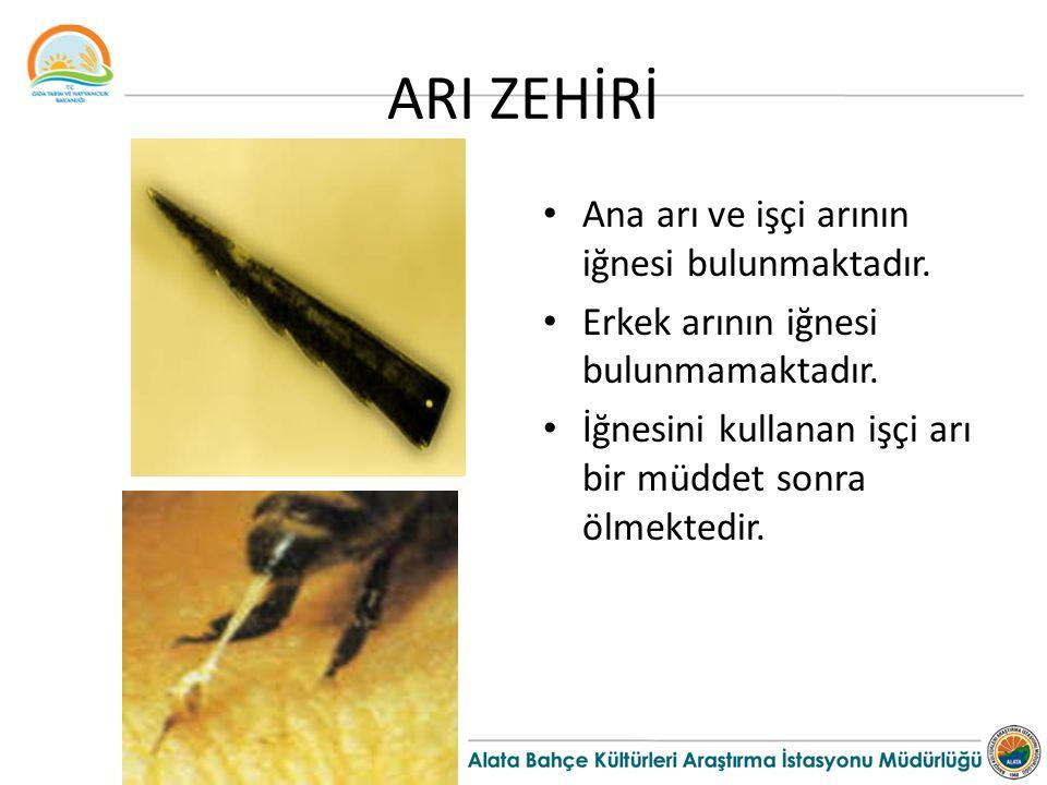 ARI ZEHİRİ Ana arı ve işçi arının iğnesi bulunmaktadır. Erkek arının iğnesi bulunmamaktadır. İğnesini kullanan işçi arı bir müddet sonra ölmektedir.