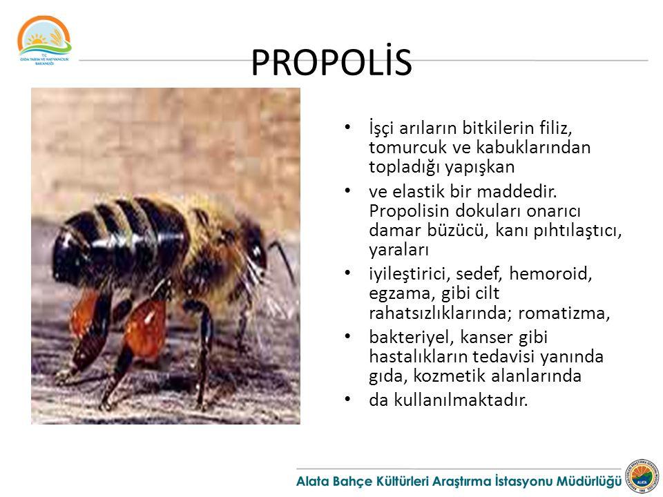 PROPOLİS İşçi arıların bitkilerin filiz, tomurcuk ve kabuklarından topladığı yapışkan ve elastik bir maddedir. Propolisin dokuları onarıcı damar büzüc