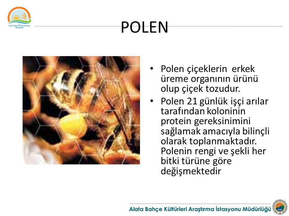 POLEN Polen çiçeklerin erkek üreme organının ürünü olup çiçek tozudur. Polen 21 günlük işçi arılar tarafından koloninin protein gereksinimini sağlamak