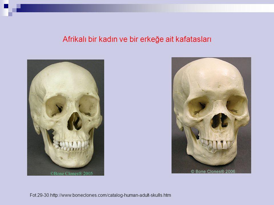 Afrikalı bir kadın ve bir erkeğe ait kafatasları Fot.29-30.http://www.boneclones.com/catalog-human-adult-skulls.htm