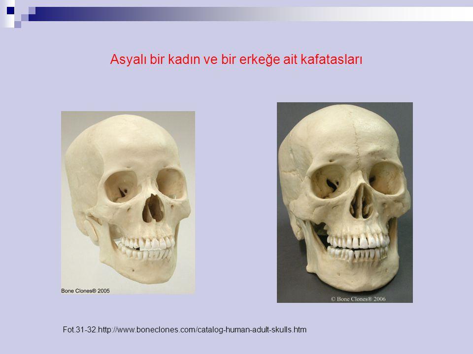 Asyalı bir kadın ve bir erkeğe ait kafatasları Fot.31-32.http://www.boneclones.com/catalog-human-adult-skulls.htm