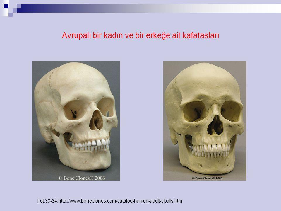 Avrupalı bir kadın ve bir erkeğe ait kafatasları Fot.33-34.http://www.boneclones.com/catalog-human-adult-skulls.htm