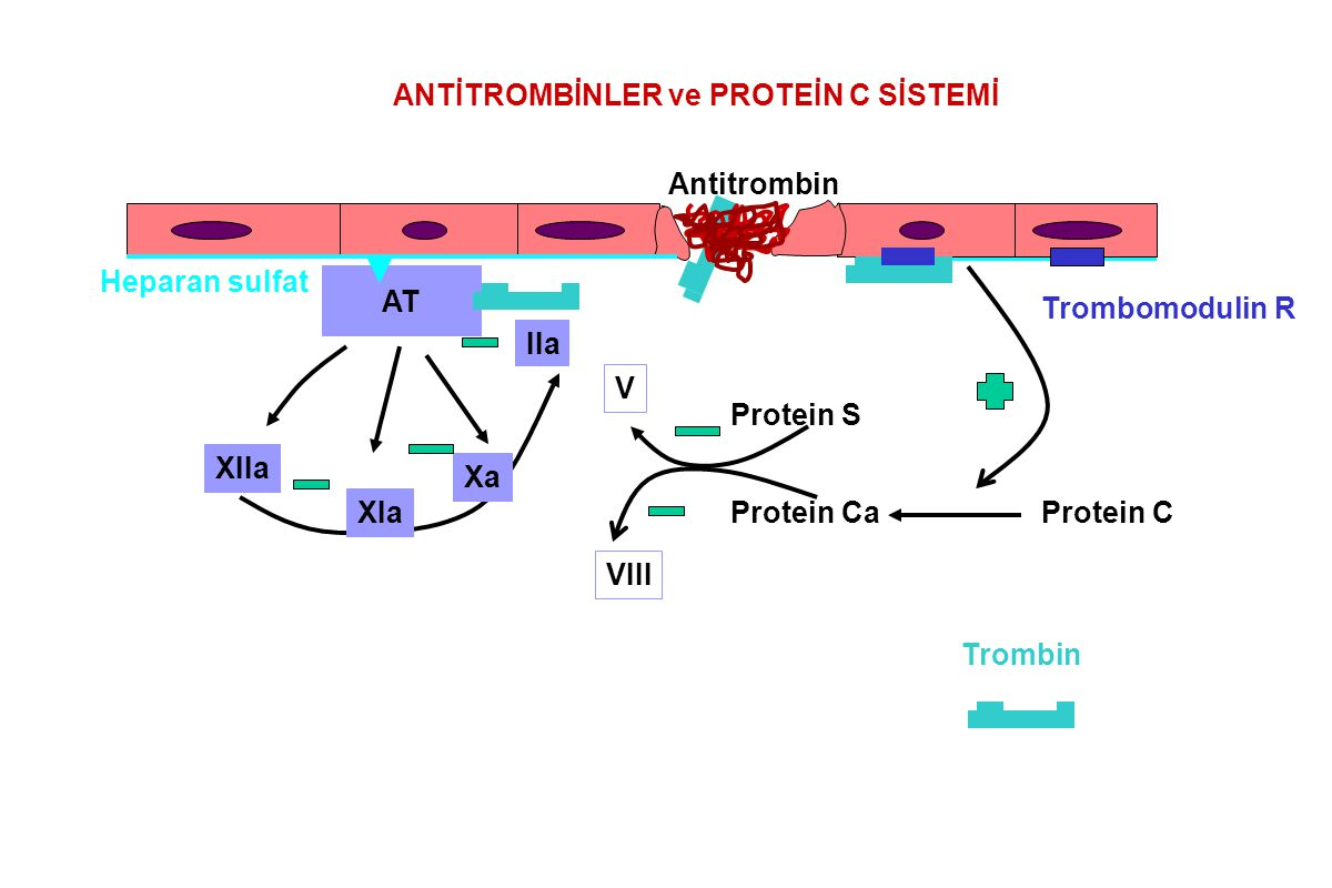 ANTİ-HEMOSTATİK MEKANİZMALAR Luminal endotel yüzeyi:Glikozaminoglikan Heparin gibi antikoagülan etkili Heparan sulfat Pıhtılaşma proteinlerinin inaktivasyonunu anti-trombin aracılığıyla artırır Endotel glikozaminoglikanı (-) yüklü, Trombosit yüzeyi (-) Endotel kökenli prostasiklinin anti-agregan ve vazodilatör etkili Endotel plazminojen aktivatörleri ile plazmin aktivasyonu.