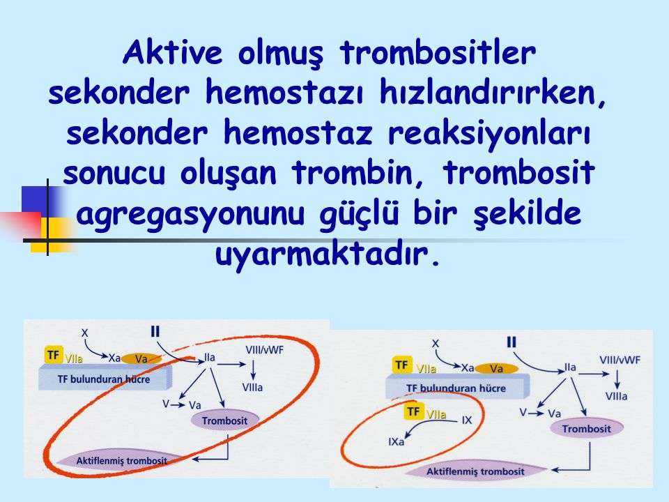 Aktive olmuş trombositler sekonder hemostazı hızlandırırken, sekonder hemostaz reaksiyonları sonucu oluşan trombin, trombosit agregasyonunu güçlü bir