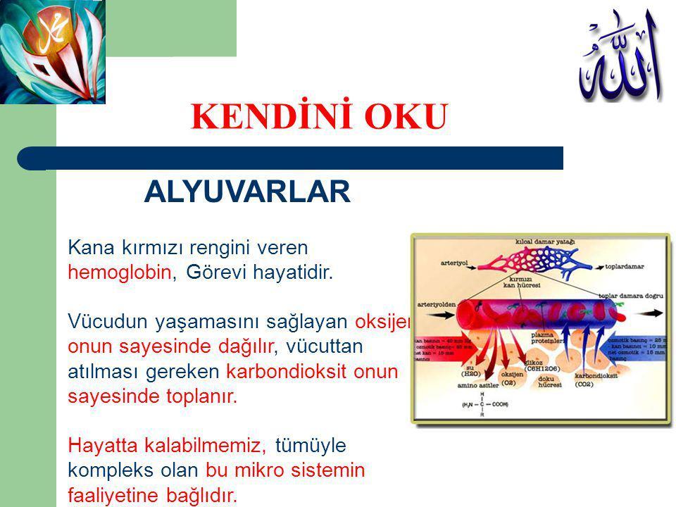 AKYUVARLAR Akyuvarlar (lökositler), beyaz kan hücreleridir.
