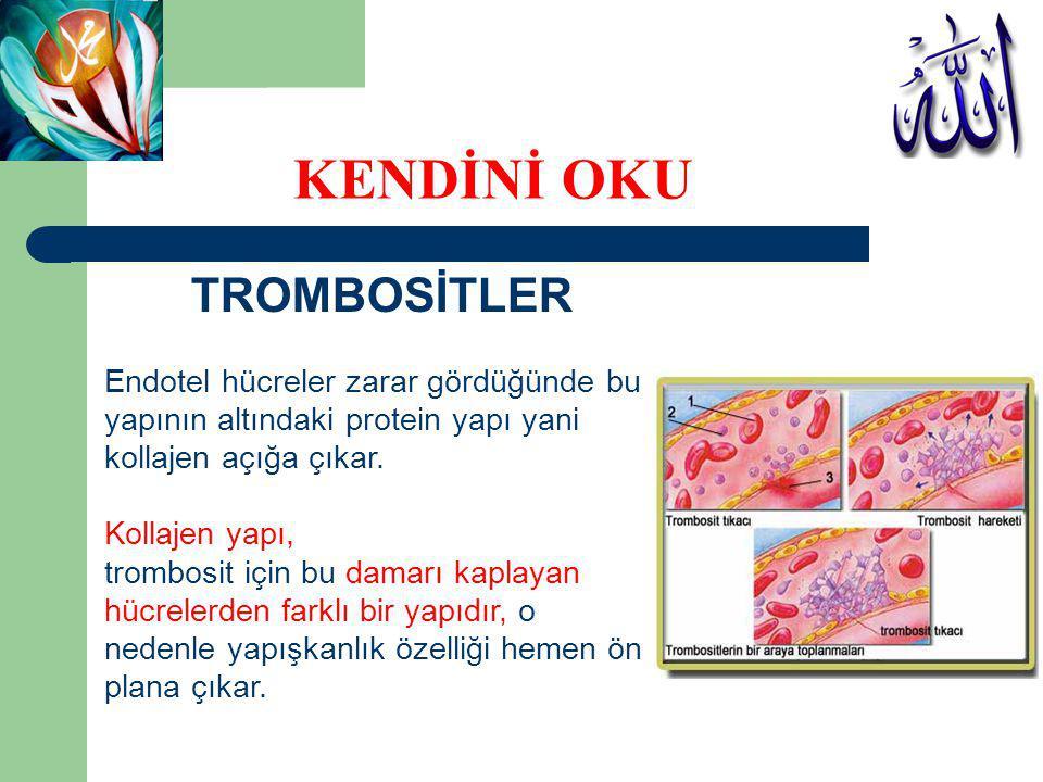 TROMBOSİTLER Endotel hücreler zarar gördüğünde bu yapının altındaki protein yapı yani kollajen açığa çıkar. Kollajen yapı, trombosit için bu damarı ka