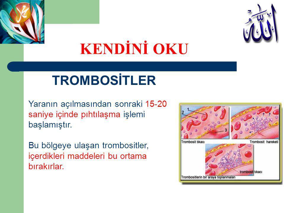 TROMBOSİTLER Ortama bırakılan maddelerden biri olan ADP, trombositlerin yapısında bazı değişikliklerin meydana gelmesine neden olur.
