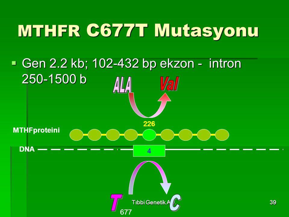 Tıbbi Genetik AD.39 MTHFR C677T Mutasyonu  Gen 2.2 kb; 102-432 bp ekzon - intron 250-1500 b 4 DNA 677 226 MTHFproteini