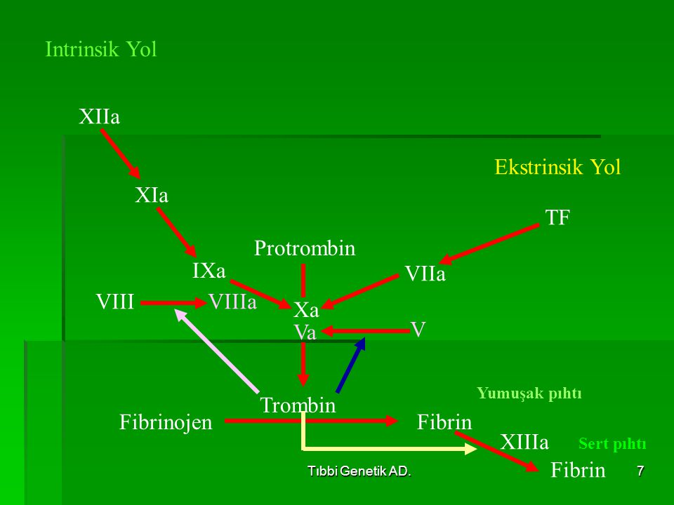 Tıbbi Genetik AD.7 FibrinojenFibrin Trombin Protrombin Xa Va VIIa TF Ekstrinsik Yol IXa VIIIa XIa XIIa Intrinsik Yol XIIIa Fibrin V VIII Yumuşak pıhtı Sert pıhtı