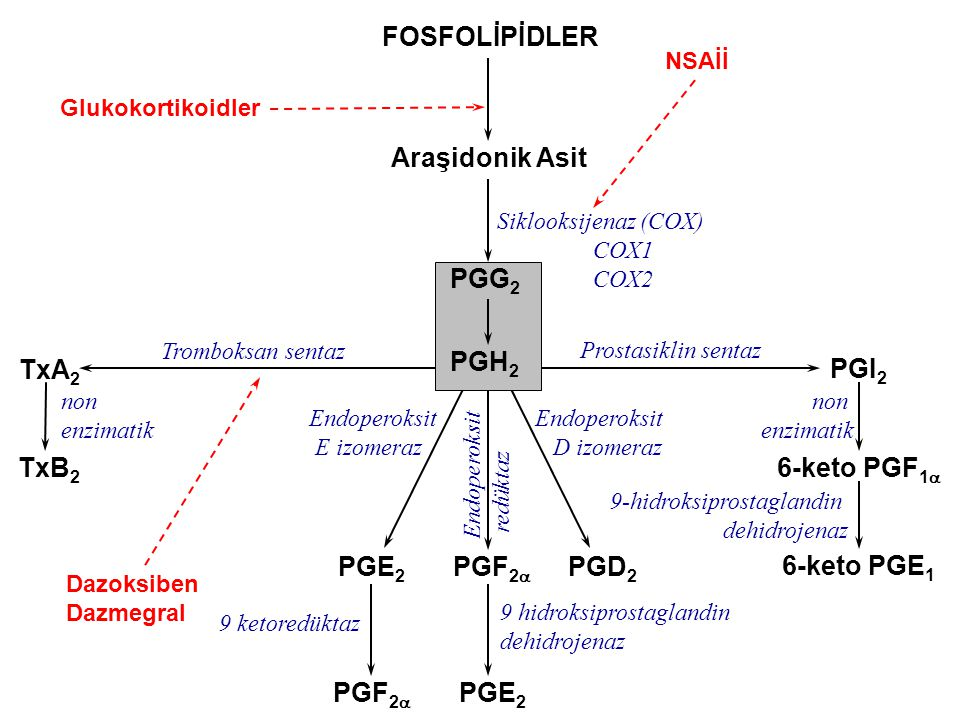 PGI 2 6-keto PGF 1  6-keto PGE 1 Prostasiklin sentaz non enzimatik FOSFOLİPİDLER Araşidonik Asit PGG 2 PGD 2 TxA 2 Siklooksijenaz (COX) COX1 COX2 Tro