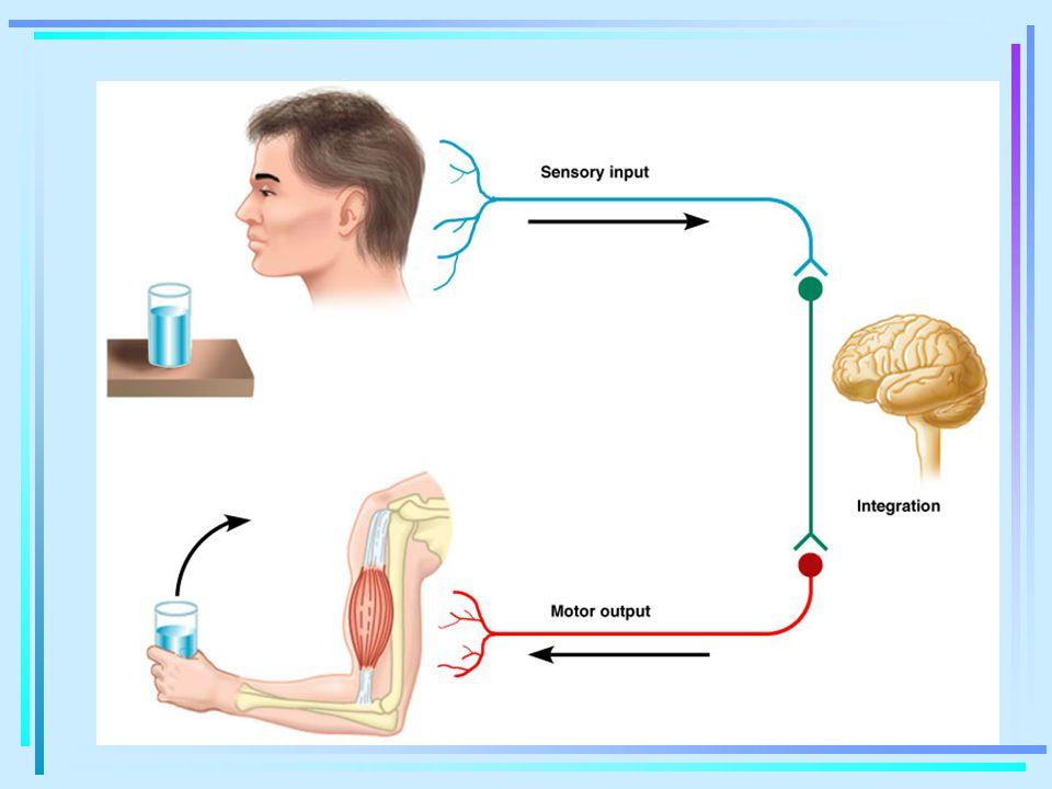 Normal bir EEG sinyali birçok frekansı içerse de, herhangi bir anda belirli bir frekans bölgesi karakteristiktir.
