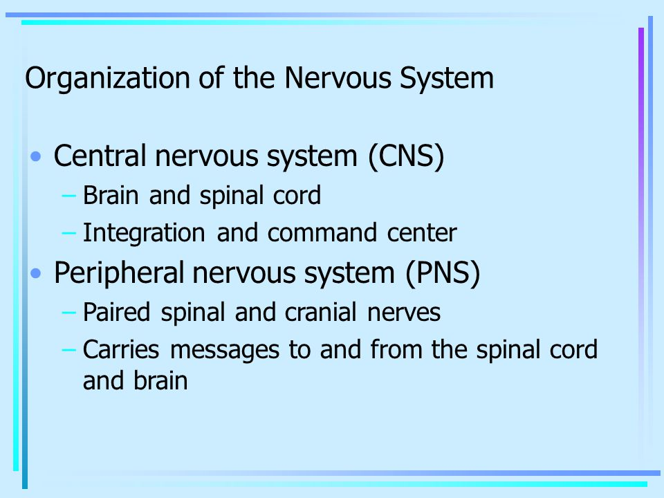 Central nervous system (CNS) –Brain and spinal cord –Integration and command center Peripheral nervous system (PNS) –Paired spinal and cranial nerves –Carries messages to and from the spinal cord and brain Organization of the Nervous System