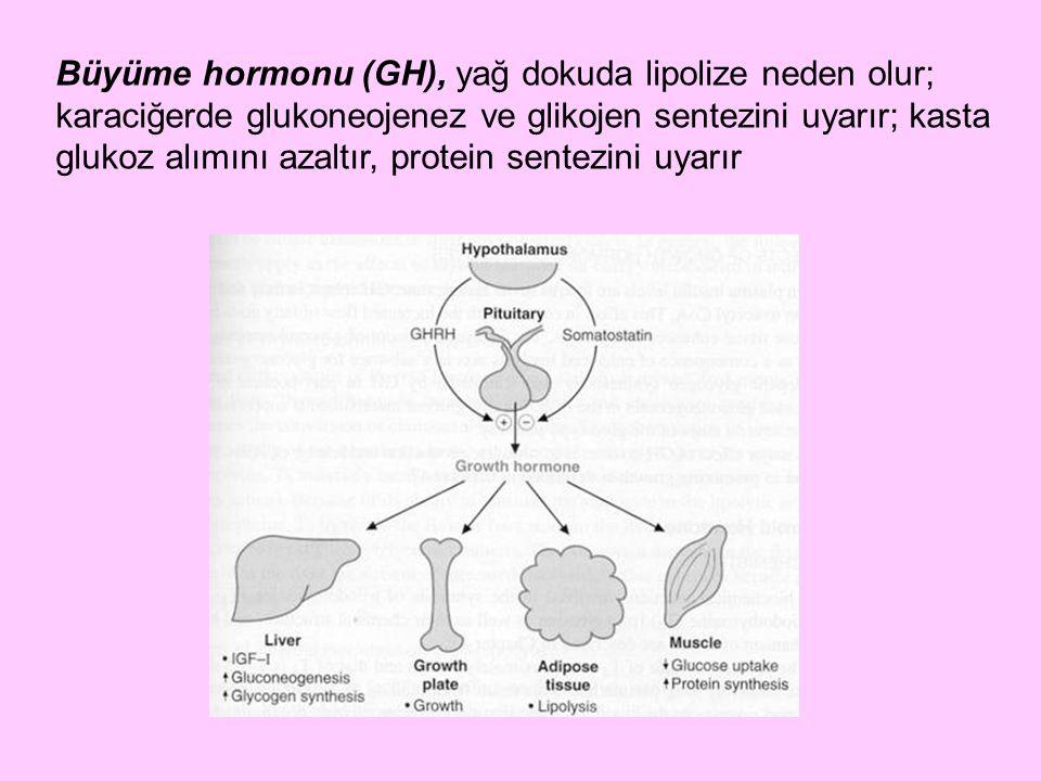 Büyüme hormonu (GH), yağ dokuda lipolize neden olur; karaciğerde glukoneojenez ve glikojen sentezini uyarır; kasta glukoz alımını azaltır, protein sen