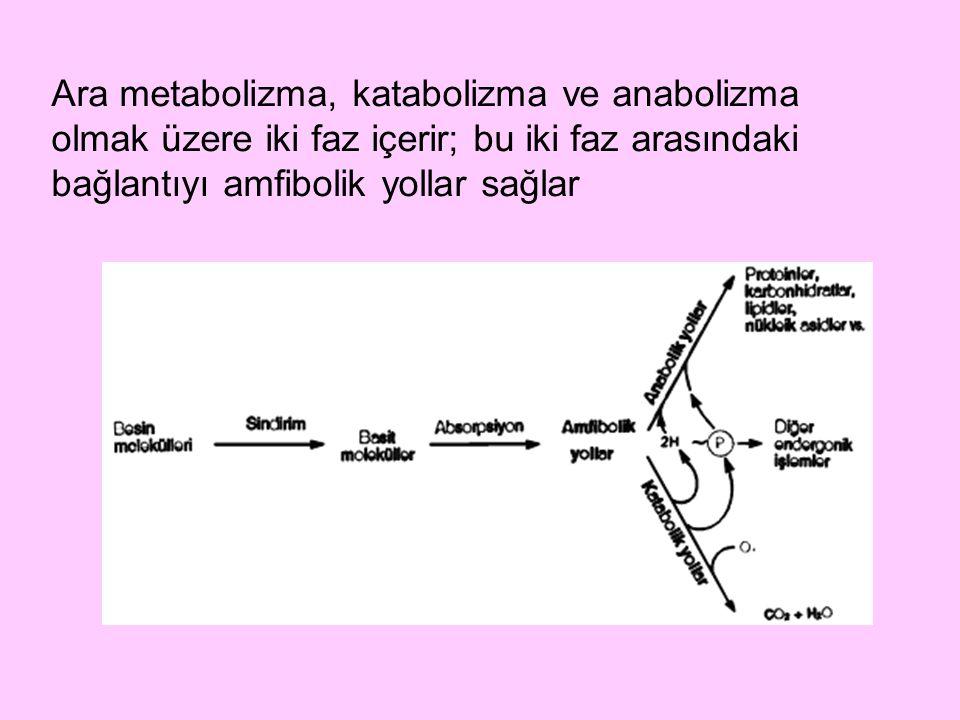 Ara metabolizma, katabolizma ve anabolizma olmak üzere iki faz içerir; bu iki faz arasındaki bağlantıyı amfibolik yollar sağlar