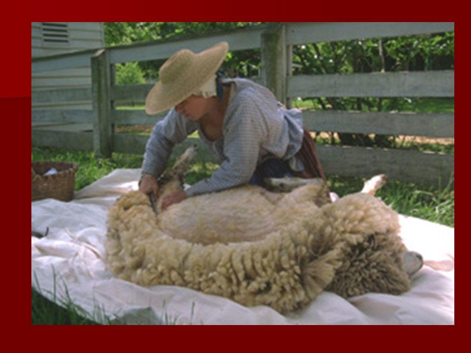 KOYUN YÜNÜNÜN İŞ LENMES İ Yün elde edilmesi için koyunlar yaz ba ş ında kırpılır.Kırkma i ş i adı kırkılıkla veya çok hızlı çalı ş an elektirikli makaslarıyla yapılabilir.
