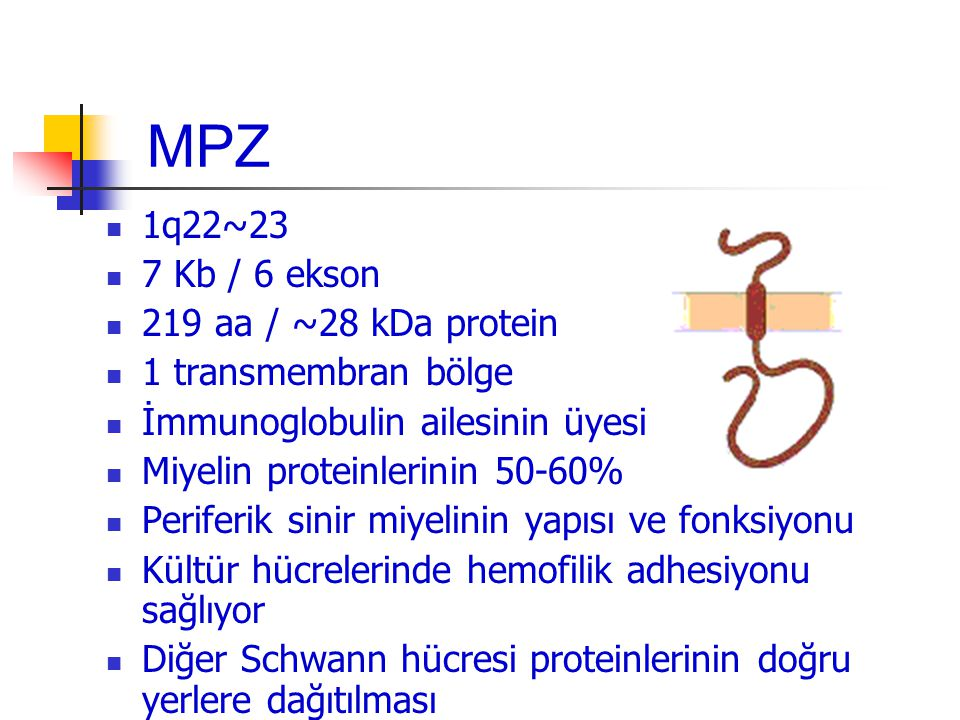MPZ 1q22~23 7 Kb / 6 ekson 219 aa / ~28 kDa protein 1 transmembran bölge İmmunoglobulin ailesinin üyesi Miyelin proteinlerinin 50-60% Periferik sinir miyelinin yapısı ve fonksiyonu Kültür hücrelerinde hemofilik adhesiyonu sağlıyor Diğer Schwann hücresi proteinlerinin doğru yerlere dağıtılması