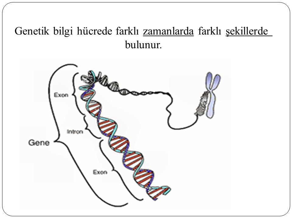 Genetik bilgi hücrede farklı zamanlarda farklı şekillerde bulunur.
