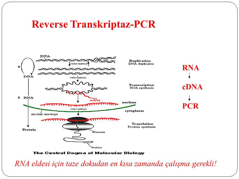 Reverse Transkriptaz-PCR RNA cDNA PCR RNA eldesi için taze dokudan en kısa zamanda çalışma gerekli!