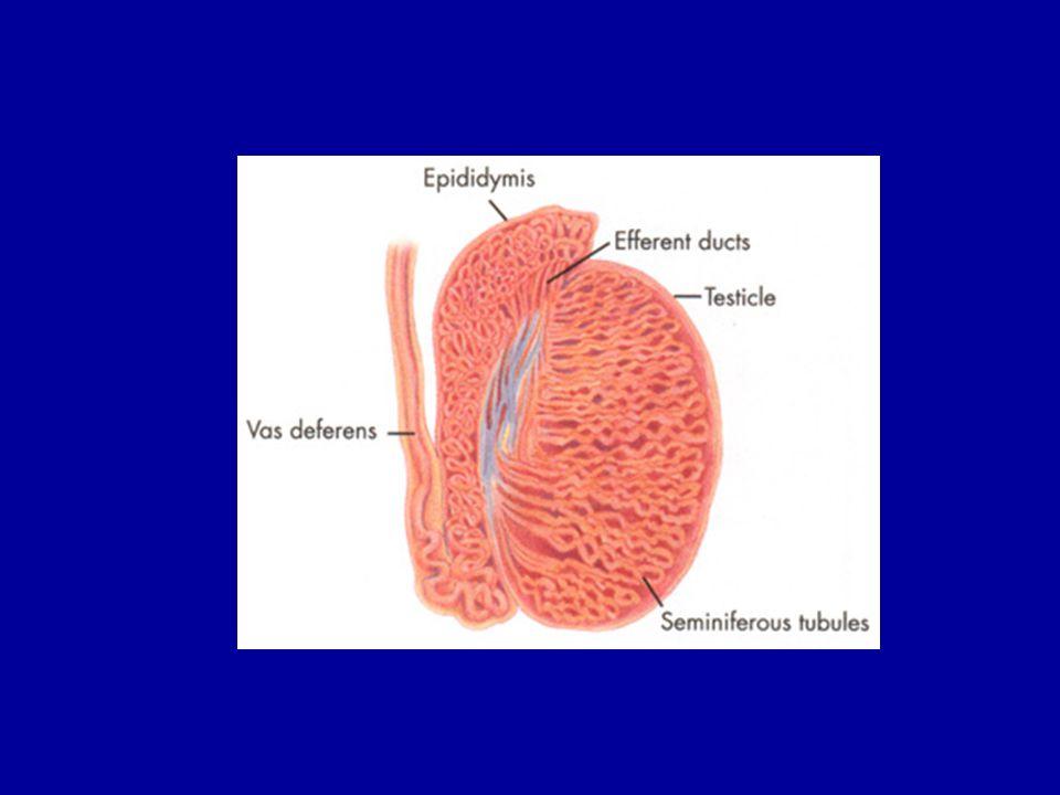 3-3.5 ml.Ejakülatın 1.5-2 ml.'si seminal vezikül kaynaklıdır.