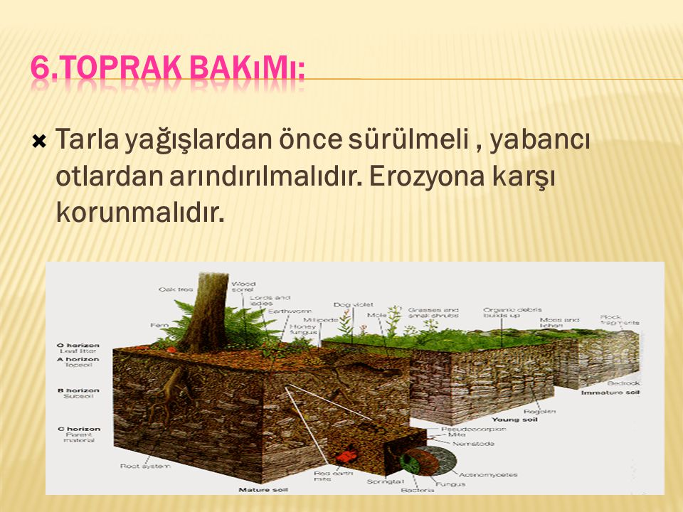  Tarla yağışlardan önce sürülmeli, yabancı otlardan arındırılmalıdır. Erozyona karşı korunmalıdır.